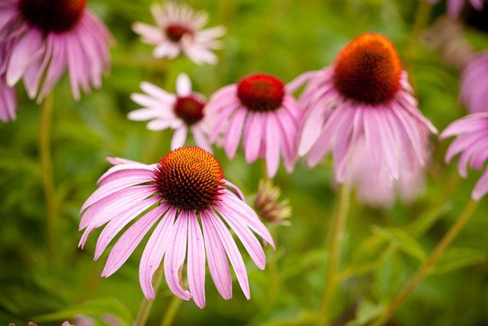 Flowers that attract butterflies, grow purple coneflowers or echinacea to attract butterflies to your garden.