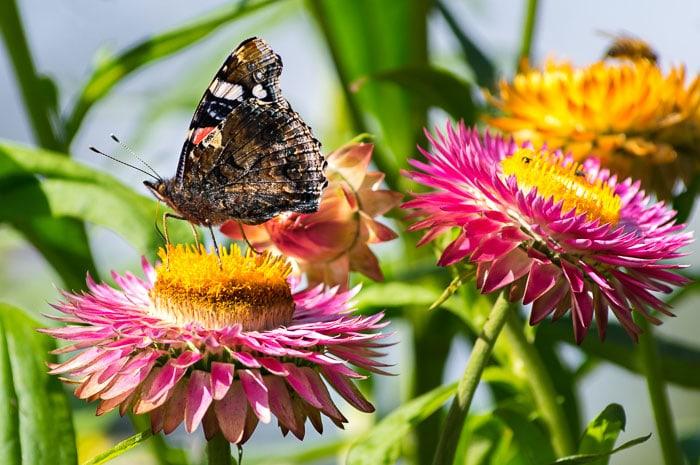Grow strawflowers to attract butterflies to your backyard garden.
