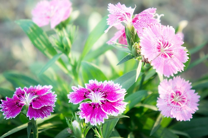 Grow sweetness dianthus to attract butterflies to your flower garden.