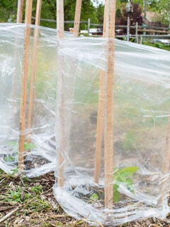 Cold Protection For Peppers And Tomatoes