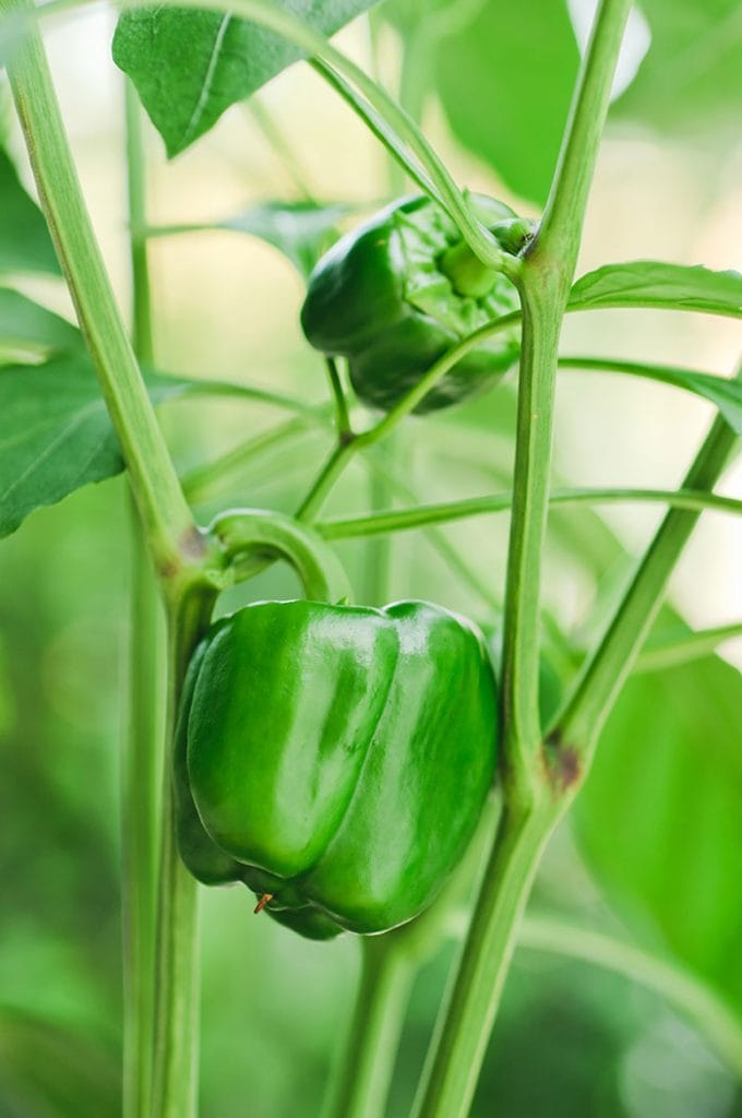 How to plant, care for and grow bell peppers in your garden.