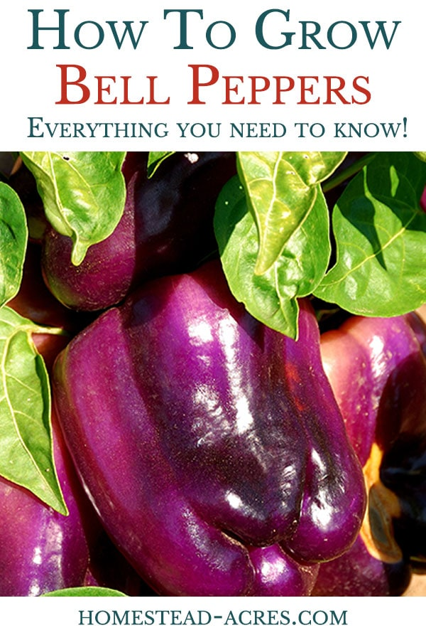 How to grow bell peppers in your backyard garden.