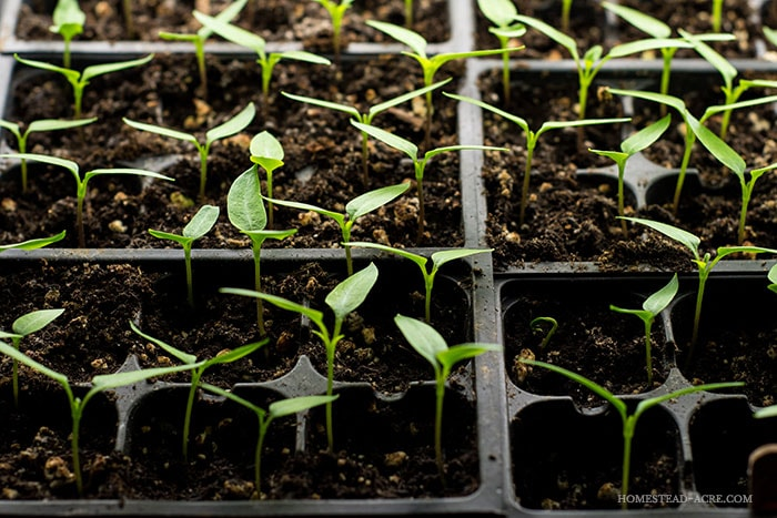 Young bell pepper seedlings. How to grow great bell peppers in your garden.