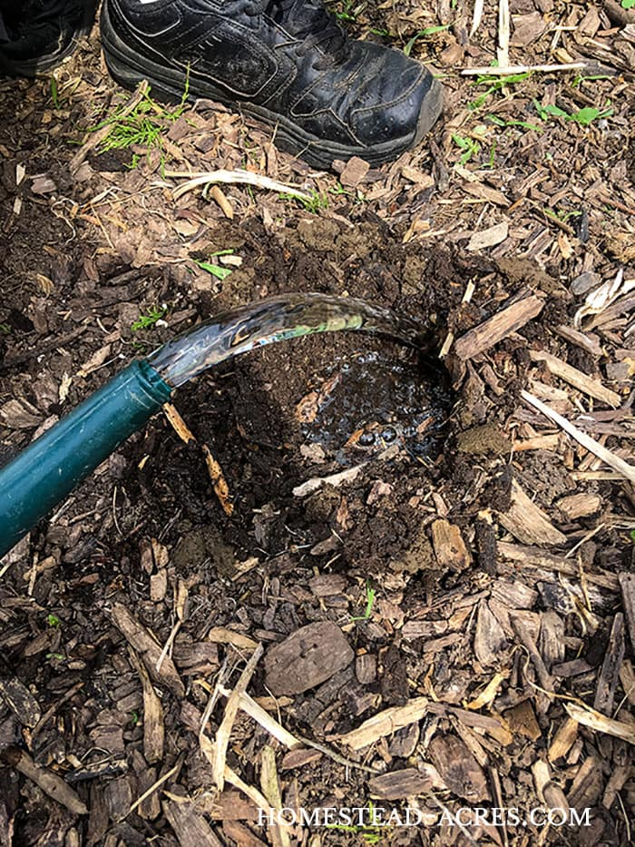How to plant and grow bell peppers, add fertilizer and water to the planting hole before planting.