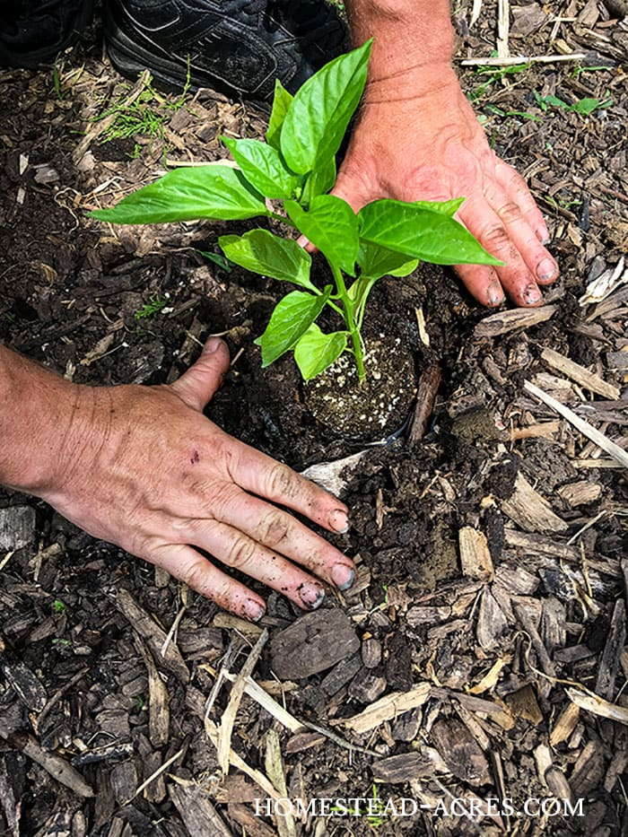 Planting and growing bell peppers in your garden.