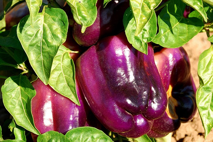Purple bell peppers. How to grow beautiful bell peppers in your home vegetable garden.