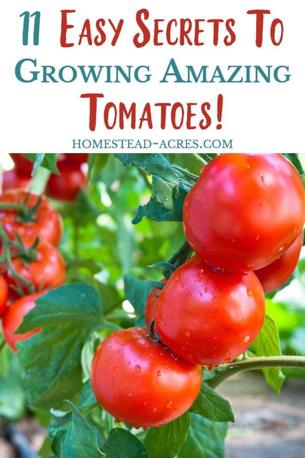How to grow great tomato plants plus secret tips to make sure they grow and produce a lot of tomatoes.