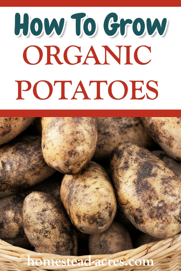 How To Grow Organic Potatoes text overlaid on a photo of large white potatoes in a basket.