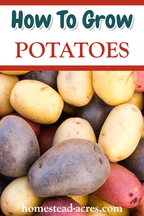 How To Grow Potatoes text overlaid on a photo of purple, red and white potatoes.
