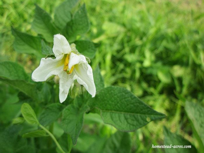 Potato plants flowering.