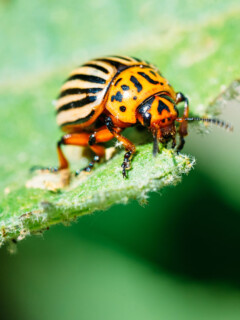 Control and get rid of potato beetles