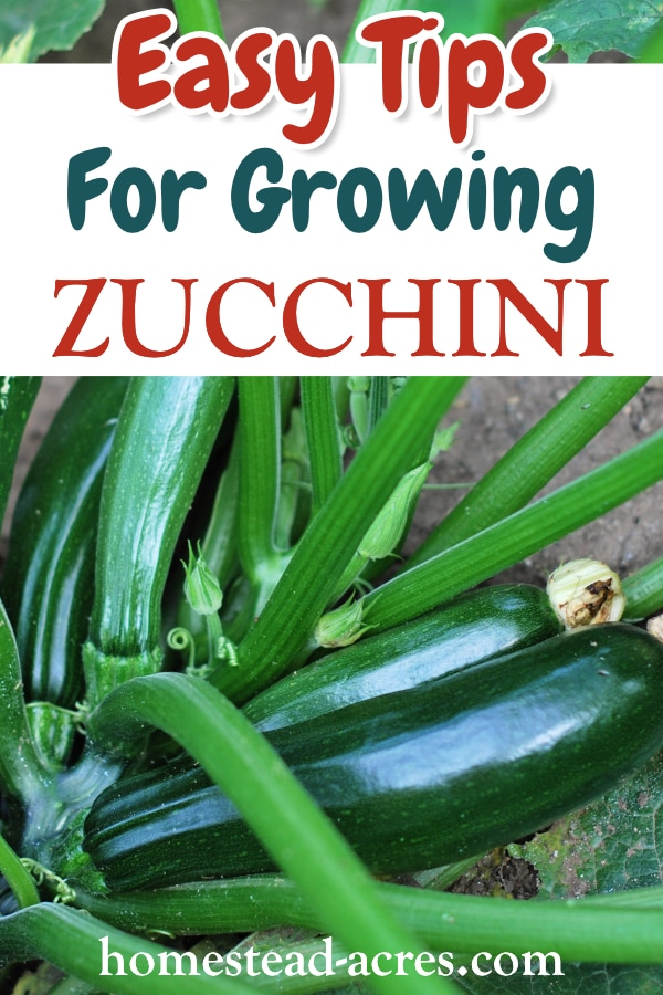 Tips for growing zucchini text overlaid on a photo of a zucchini plant growing in the garden.