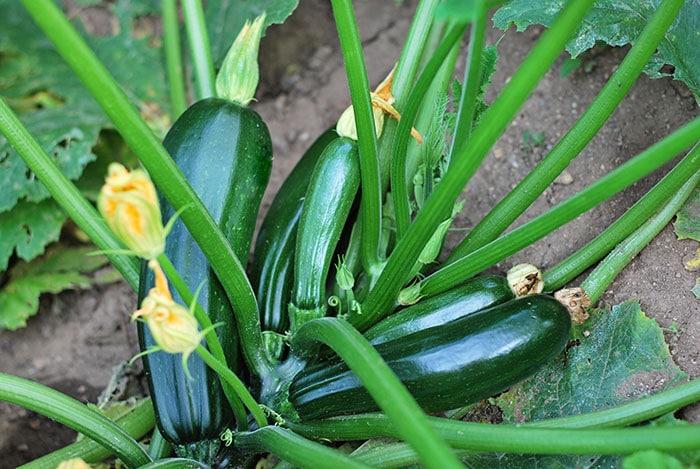 Zucchini plant in the garden covered in dark green zucchini ready to harvest.