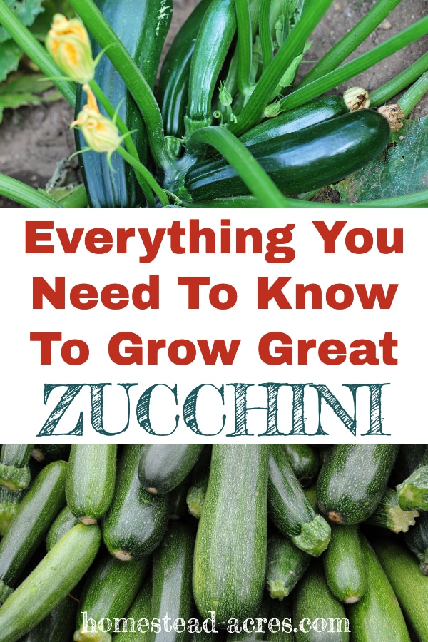 Everything you need to know to grow great zucchini text overlaid on a photo collage of a zucchini plant and piles of harvested zucchini.