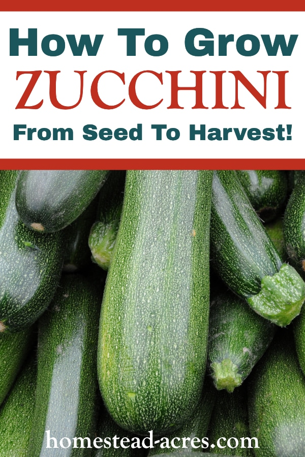 How To Grow Zucchini From Seed To Harvest text overlaid on a photo of zucchini piled on top of each other.
