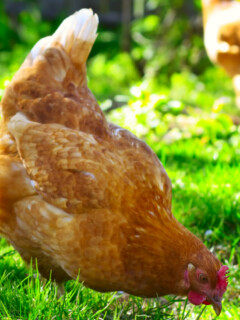 Keeping Chickens Cool In The Summer