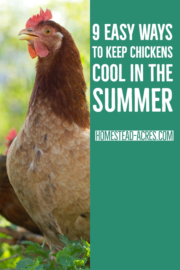 Keeping Chickens Cool