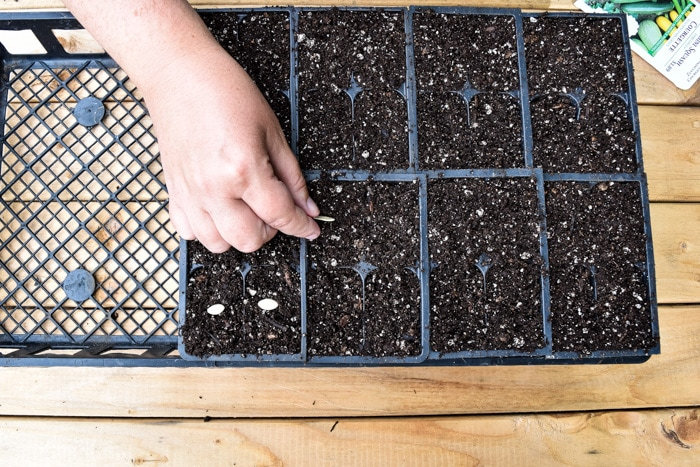 Starting zucchini from seed by planting seeds into cell packs.