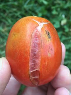 Tomatoes Splitting