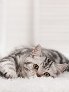 How To Get Cat Pee Smell Out Of Your Carpet