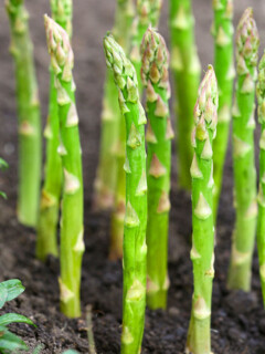 Asparagus growing in the garden and ready to harvest.