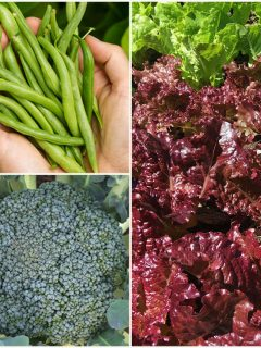 What to plant in July - collage image of lettuce, beans, and broccoli