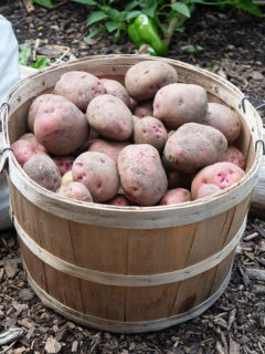 A bushel basket filled with red potatoes harvested from the garden and ready to store over winter for long term use.