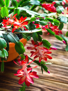 Christmas cactus in bloom with red flowers.