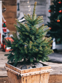Small live Christmas tree in a wooden pot indoors.