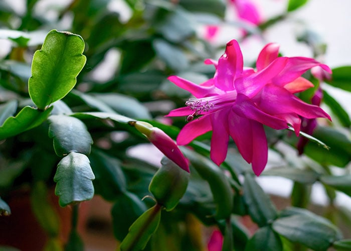 Pink Christmas cactus flower.