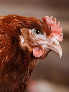 Bossy red hen.