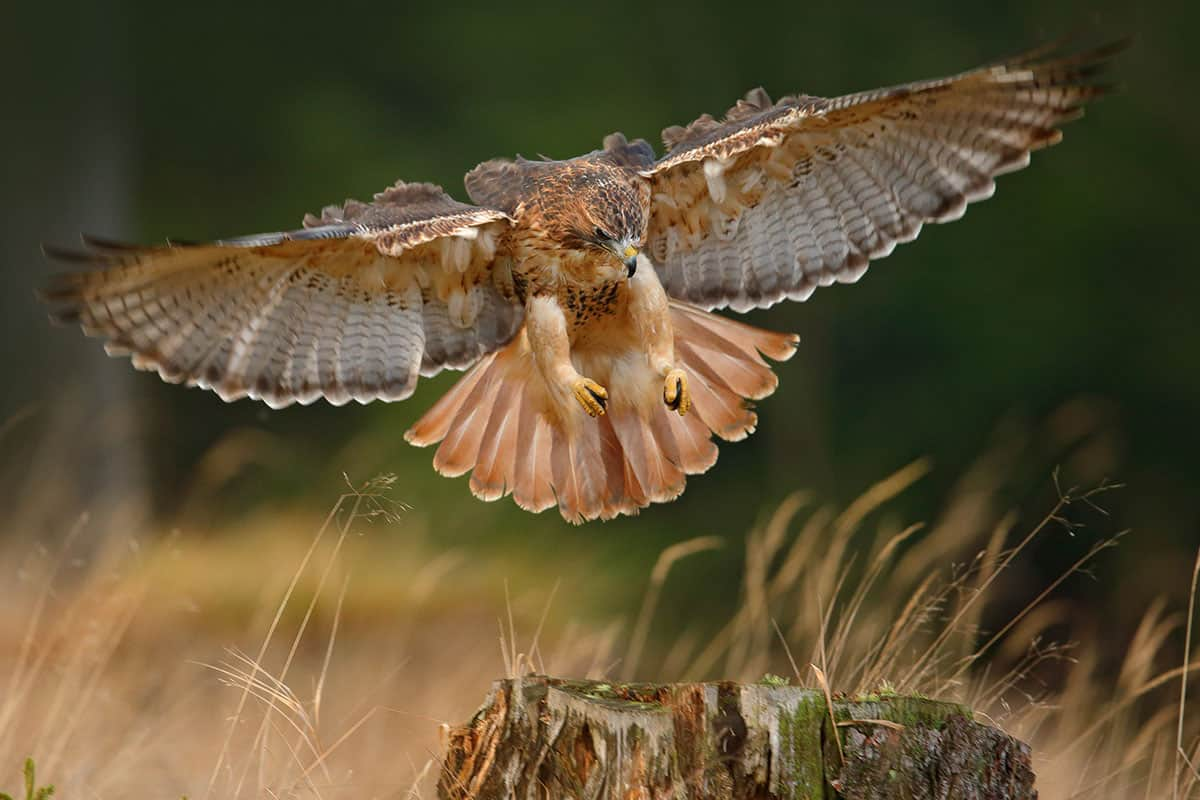 Red tailed hawk about to catch it's prey.