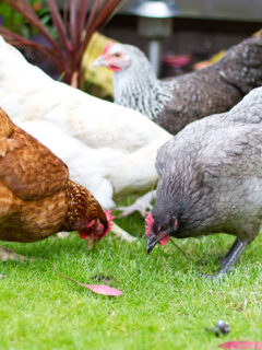 Red, gray, and white hens eating in the grass.