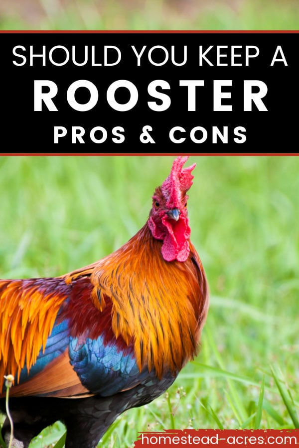 Red and blue rooster in the grass. Text overlay says Should You Keep A Rooster Pros And Cons.