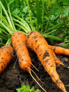 Freshly harvested carrots laying in the garden.