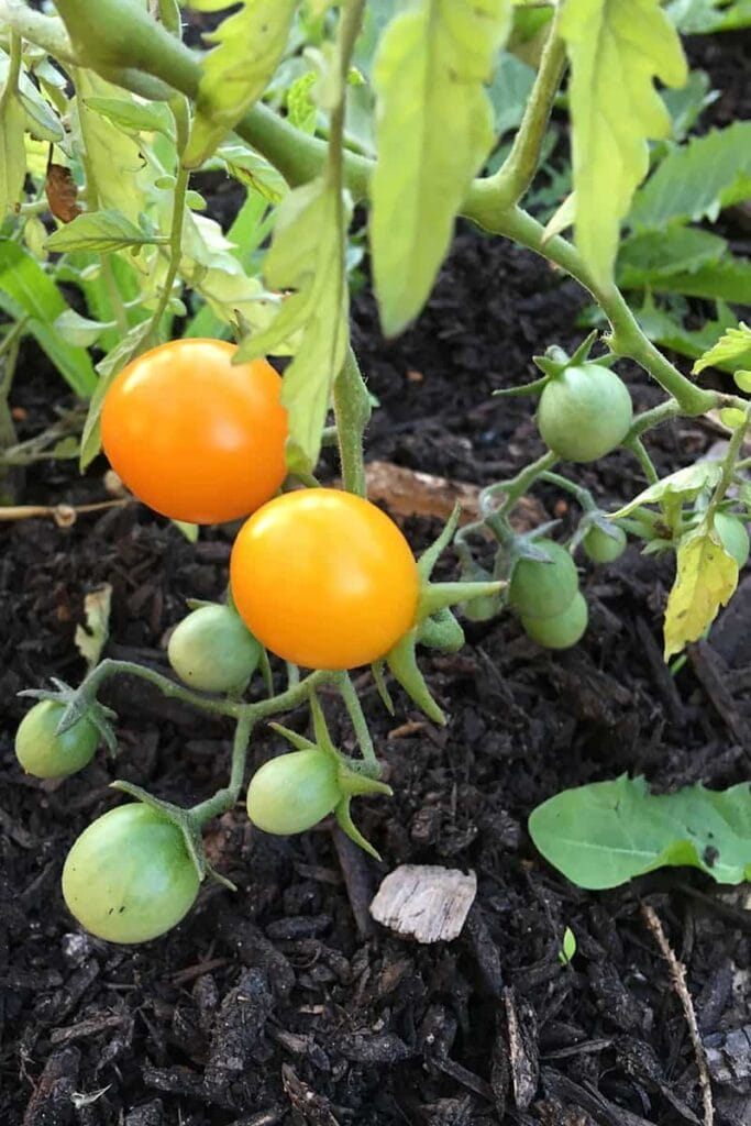 Yellow cherry tomatoes growing in the garden.