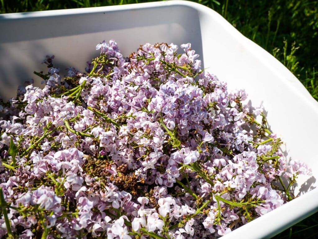 Purple lilac flowers in a white container.
